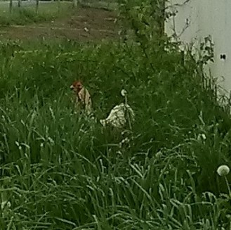 chickens hiding